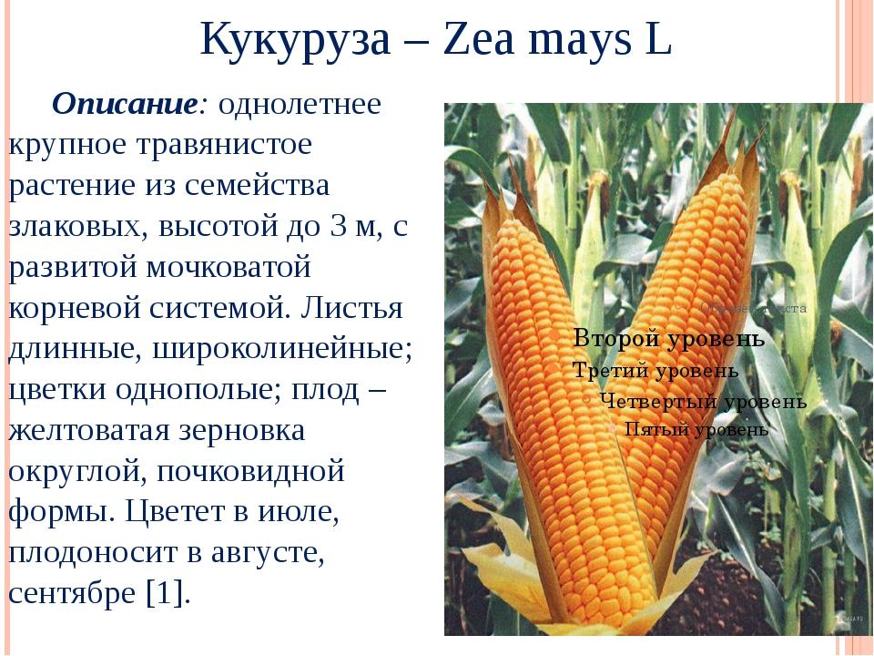 Кукуруза – Zea mays L Описание: однолетнее крупное травянистое растение из с...