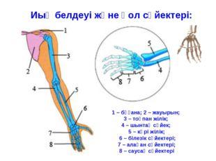 Иық белдеуі және қол сүйектері: 1 – бұғана; 2 – жауырын; 3 – тоқпан жілік; 4