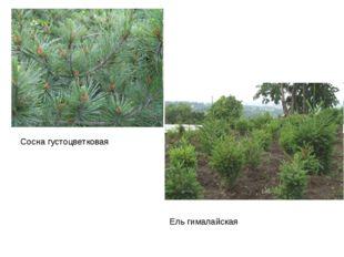 Сосна густоцветковая Ель гималайская