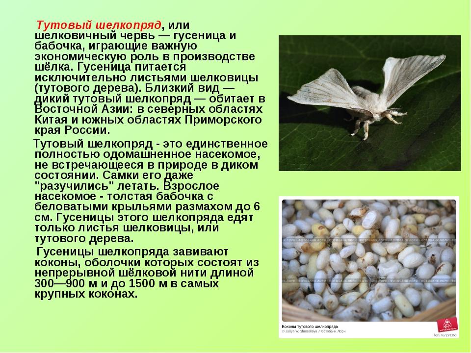 Тутовый шелкопряд, или шелковичный червь — гусеница и бабочка, играющие важн...
