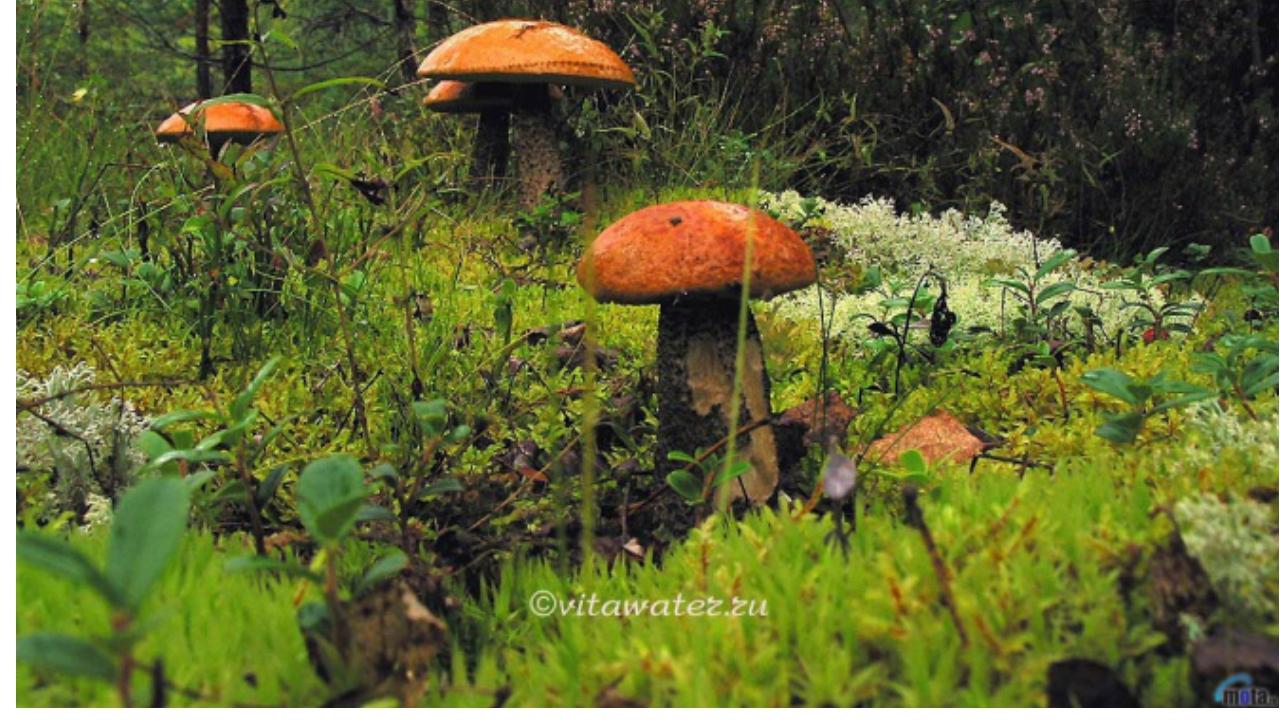 Обои для рабочего стола лесные грибы
