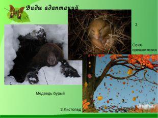 Виды адаптаций 1 2 3 Медведь бурый Соня орешниковая 3 Листопад