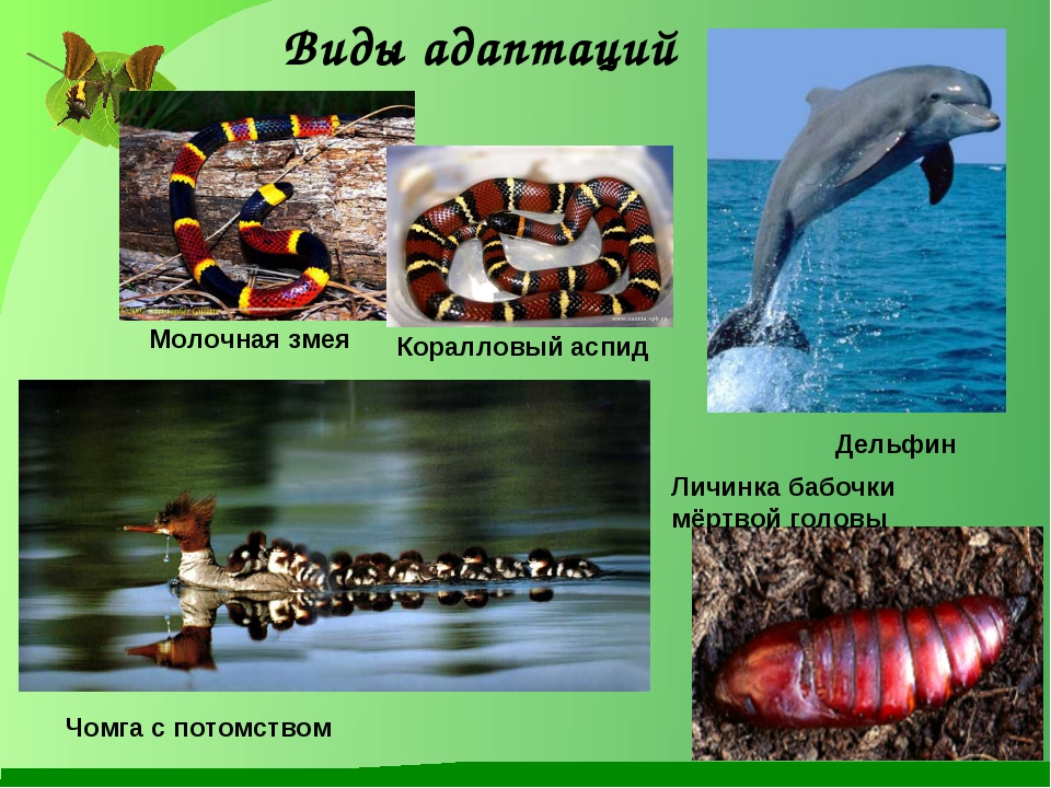Молочная змея Коралловый аспид Дельфин Личинка бабочки мёртвой головы Чомга с...