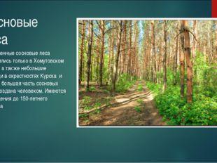 Сосновые леса Естественные сосновые леса сохранились только в Хомутовском рай