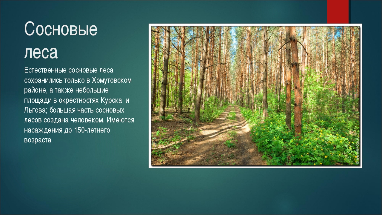 Сосновые леса Естественные сосновые леса сохранились только в Хомутовском рай...