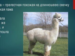 Альпака – прелестная похожая на длинношеею овечку маленькая лама Прочитала я