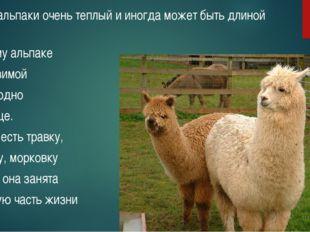 Мех у альпаки очень теплый и иногда может быть длиной 25 см. Поэтому альпаке