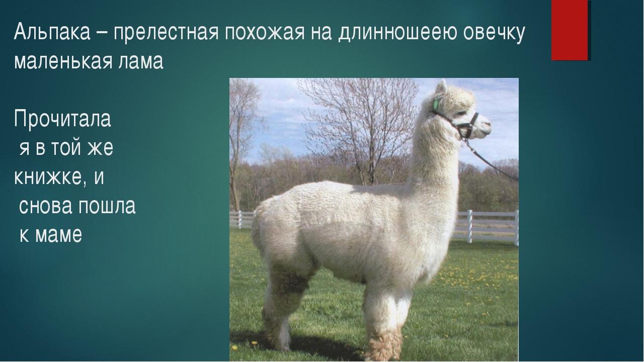 Альпака – прелестная похожая на длинношеею овечку маленькая лама Прочитала я...