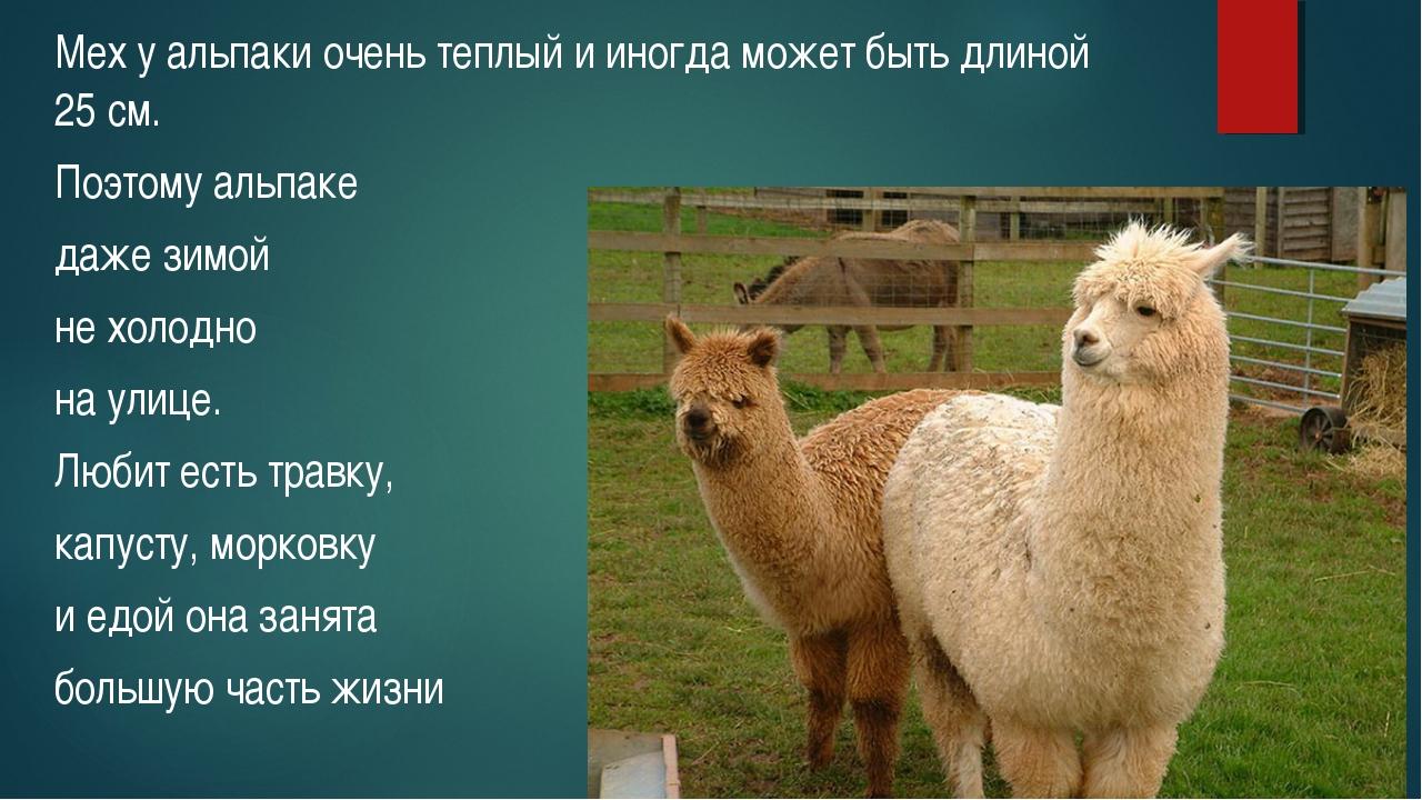 Мех у альпаки очень теплый и иногда может быть длиной 25 см. Поэтому альпаке...