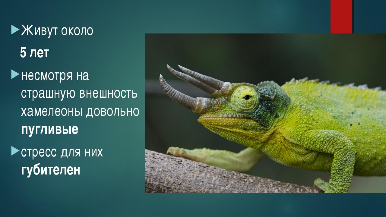 Живут около 5 лет несмотря на страшную внешность хамелеоны довольно пугливые...