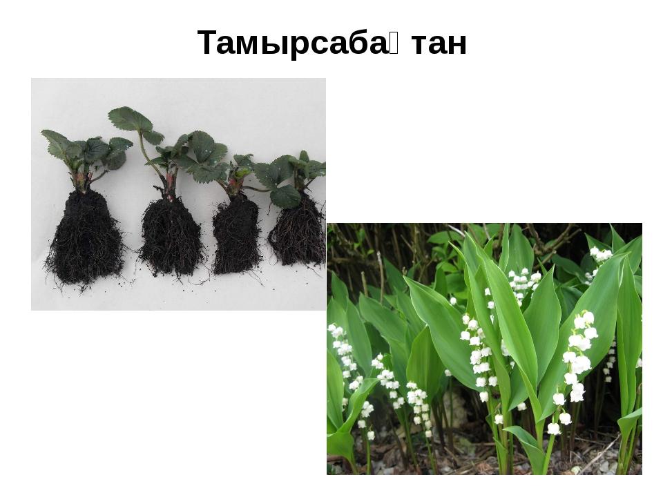 Тамырсабақтан