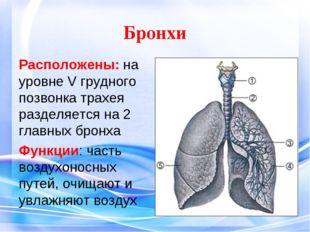 Бронхи Расположены: на уровне V грудного позвонка трахея разделяется на 2 гл