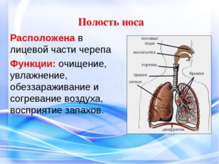 Полость носа Расположена в лицевой части черепа Функции: очищение, увлажнени