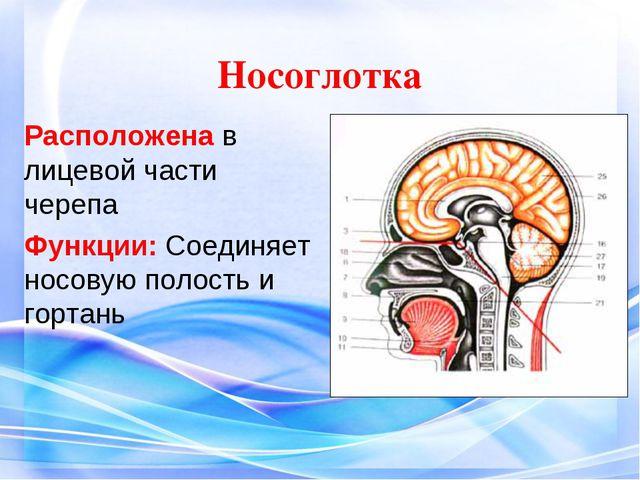 Носоглотка Расположена в лицевой части черепа Функции: Соединяет носовую пол...