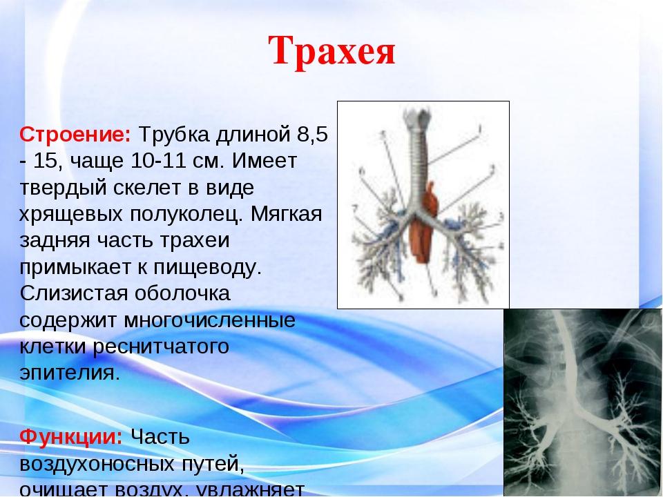 Трахея Строение: Трубка длиной 8,5 - 15, чаще 10-11 см. Имеет твердый скелет...