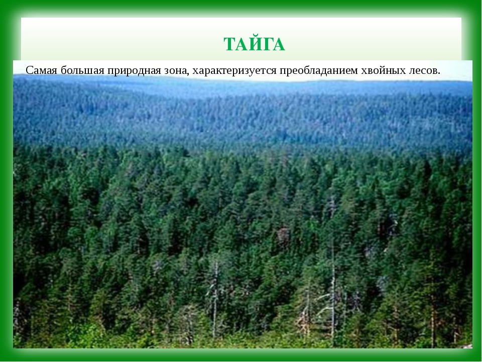 ТАЙГА Самая большая природная зона, характеризуется преобладанием хвойных ле...