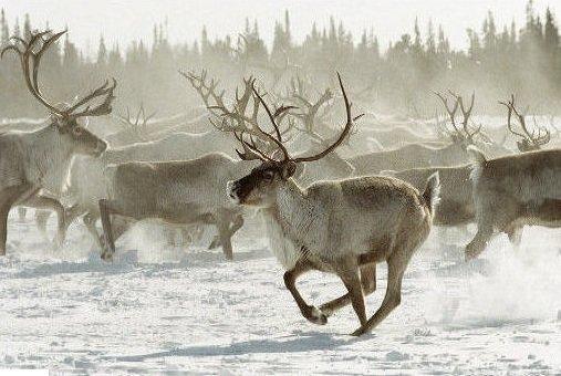 Северных лесных оленей будут спасать в зоологическом заказнике - новости экологии на ECOportal