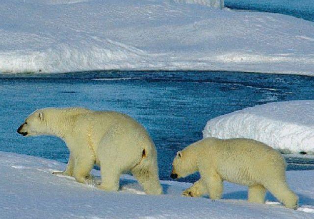 Аркто-субарктическая провинция - География жизни. . Биогеогр…