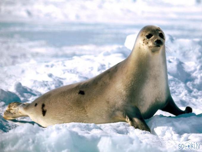 Гренландский тюлень (Phoca groenlandica) фото, гренландский тюлень фото обои рабочий стол тюлень , фото фотографии ластоногие жи