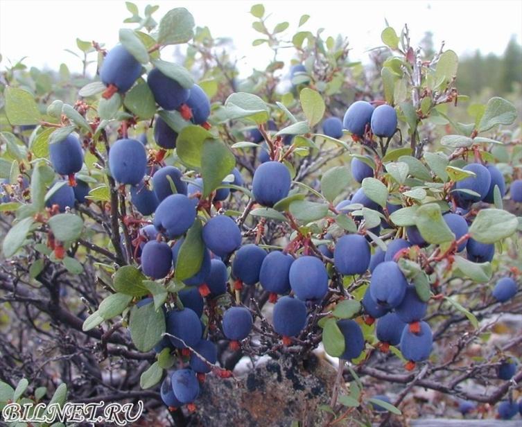 Голубика обыкновенная, топяная - Vaccinium uliginosum. 180 руб. - Природный стиль - Nature style