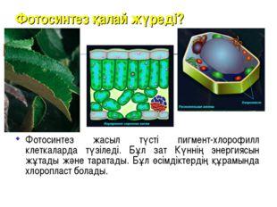 Фотосинтез қалай жүреді? Фотосинтез жасыл түсті пигмент-хлорофилл клеткаларда