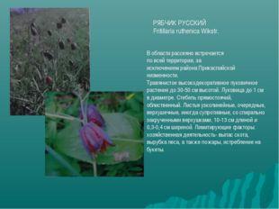 РЯБЧИК РУССКИЙ Fritillaria ruthenica Wikstr. В области рассеяно встречается п