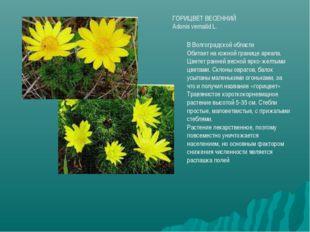ГОРИЦВЕТ ВЕСЕННИЙ Adonis vernalid L. В Волгоградской области Обитает на южной