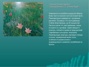 Тюльпан Геснера (Шренка) Tulipa gesneriana L. (T. schrenkii Regel) Отмечается