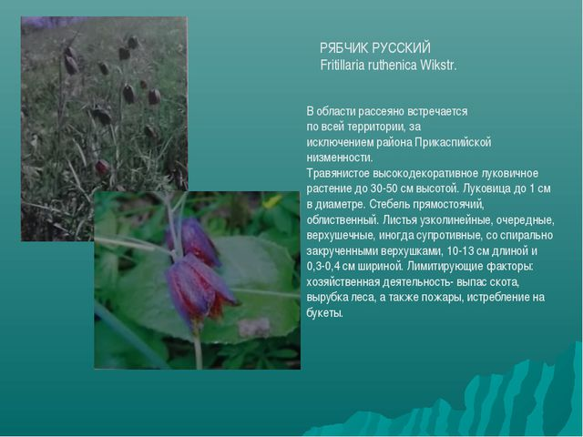 РЯБЧИК РУССКИЙ Fritillaria ruthenica Wikstr. В области рассеяно встречается п...