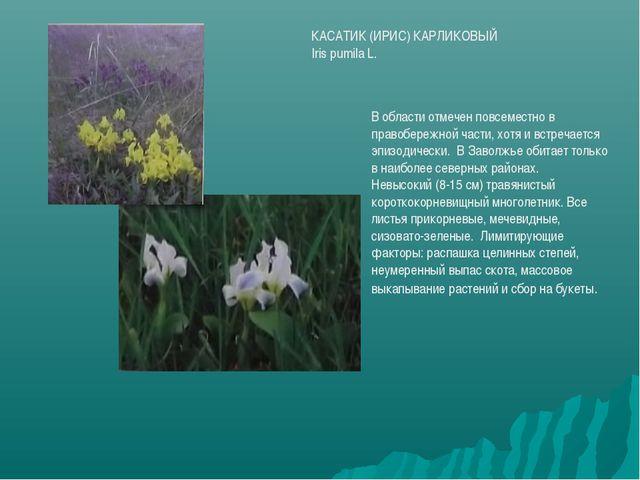 КАСАТИК (ИРИС) КАРЛИКОВЫЙ Iris pumila L. В области отмечен повсеместно в прав...