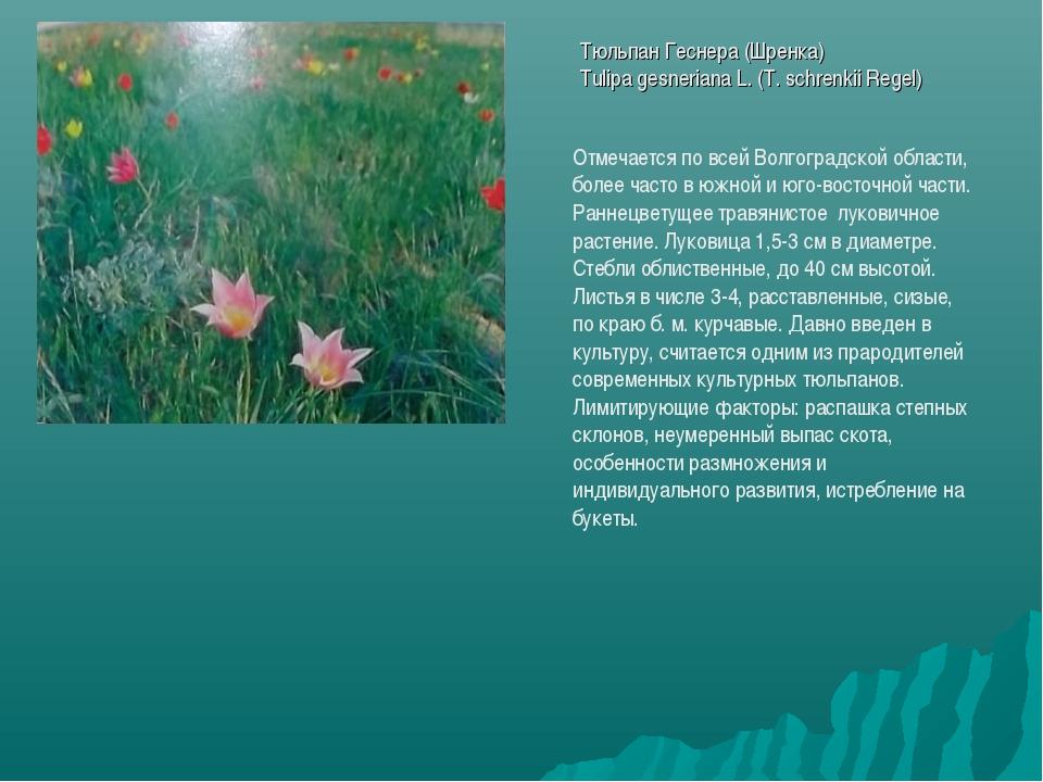 Тюльпан Геснера (Шренка) Tulipa gesneriana L. (T. schrenkii Regel) Отмечается...