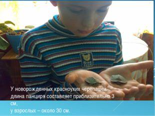 У новорожденных красноухих черепашек длина панциря составляет приблизительно