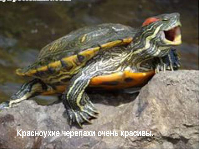 Красноухие черепахи очень красивы.