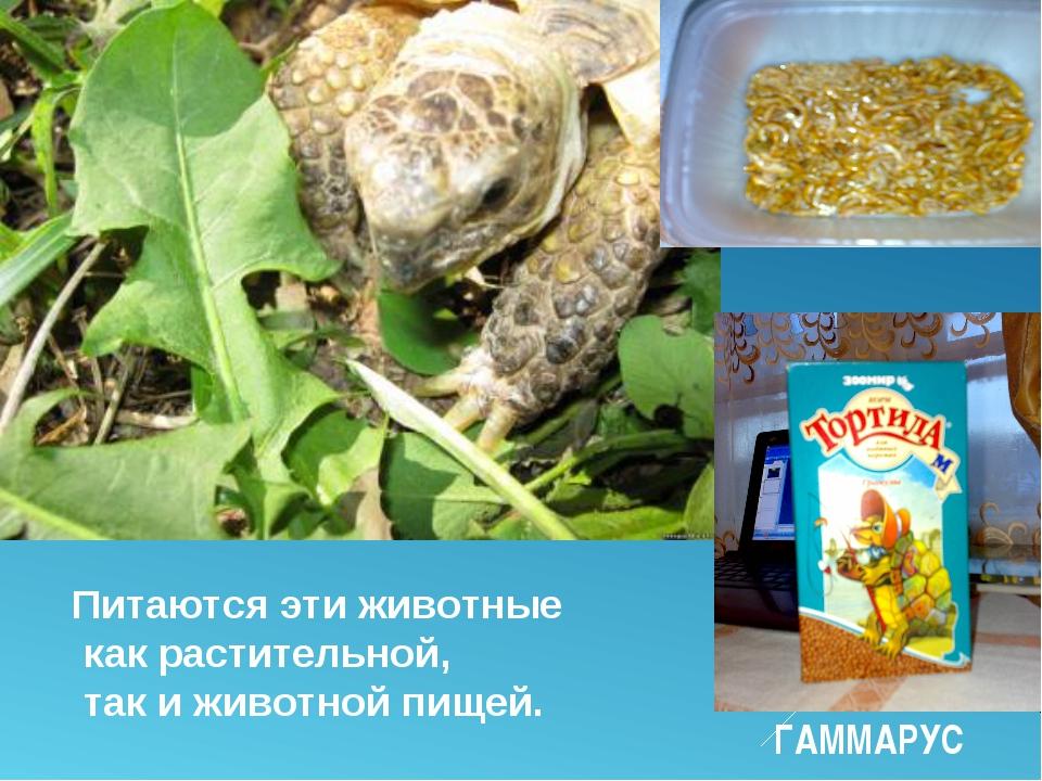 Питаются эти животные как растительной, так и животной пищей. ГАММАРУС