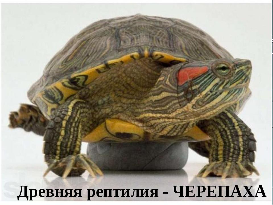 Древняя рептилия - ЧЕРЕПАХА