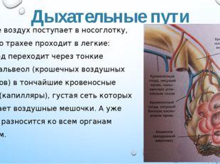 Дыхательные пути Вначале воздух поступает в носоглотку, затем по трахее прохо