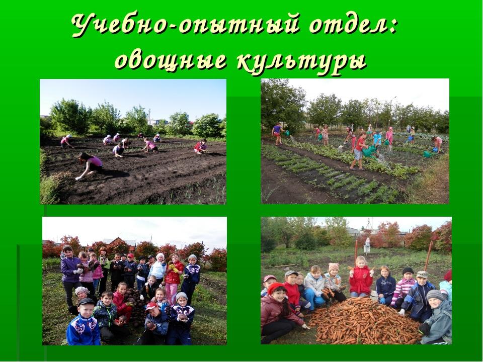 Учебно-опытный отдел: овощные культуры