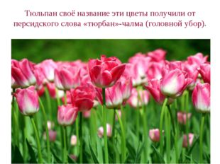 Тюльпан своё название эти цветы получили от персидского слова «тюрбан»-чалма