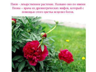 Пион - лекарственное растение. Названо оно по имени Пеона – врача из древнегр