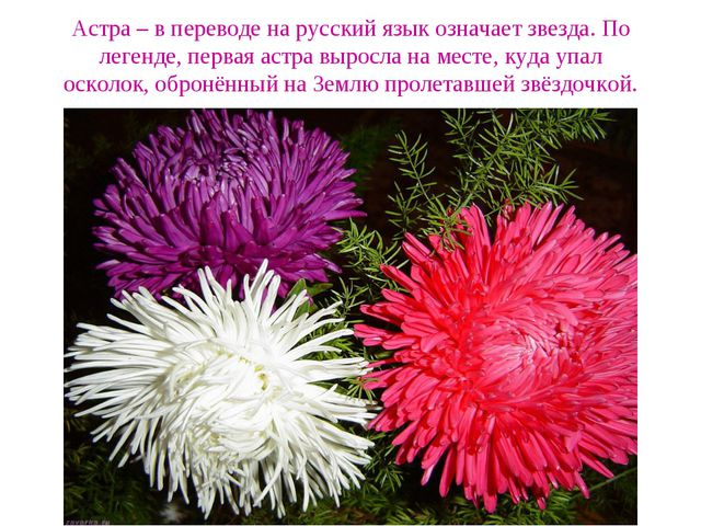 Астра – в переводе на русский язык означает звезда. По легенде, первая астра...