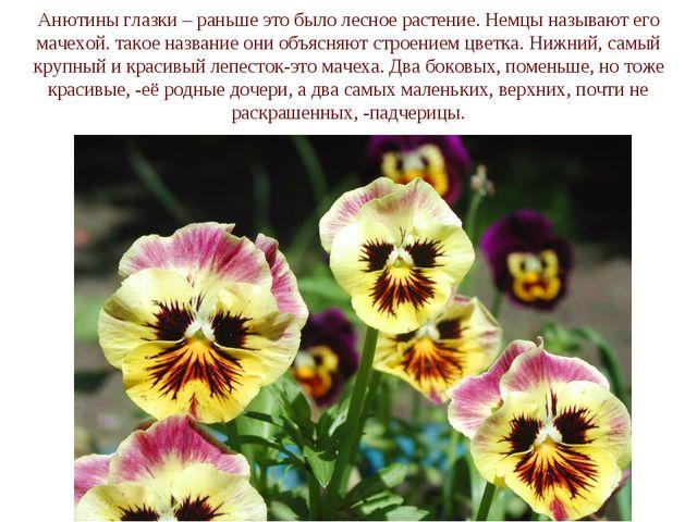 Анютины глазки – раньше это было лесное растение. Немцы называют его мачехой....