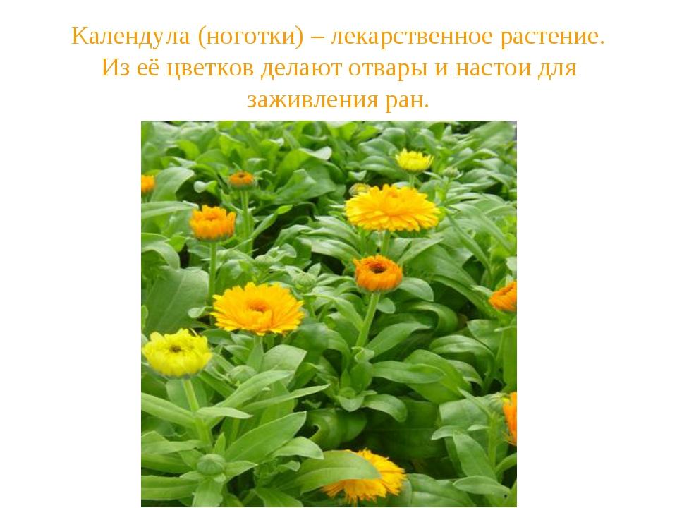 Календула (ноготки) – лекарственное растение. Из её цветков делают отвары и н...