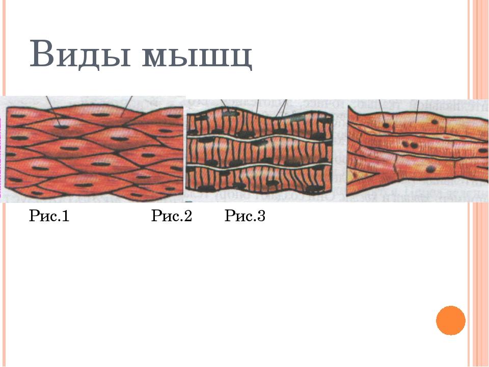 Виды мышц Рис.1Рис.2Рис.3