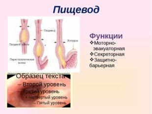 Пищевод Функции Моторно-эвакуаторная Секреторная Защитно-барьерная