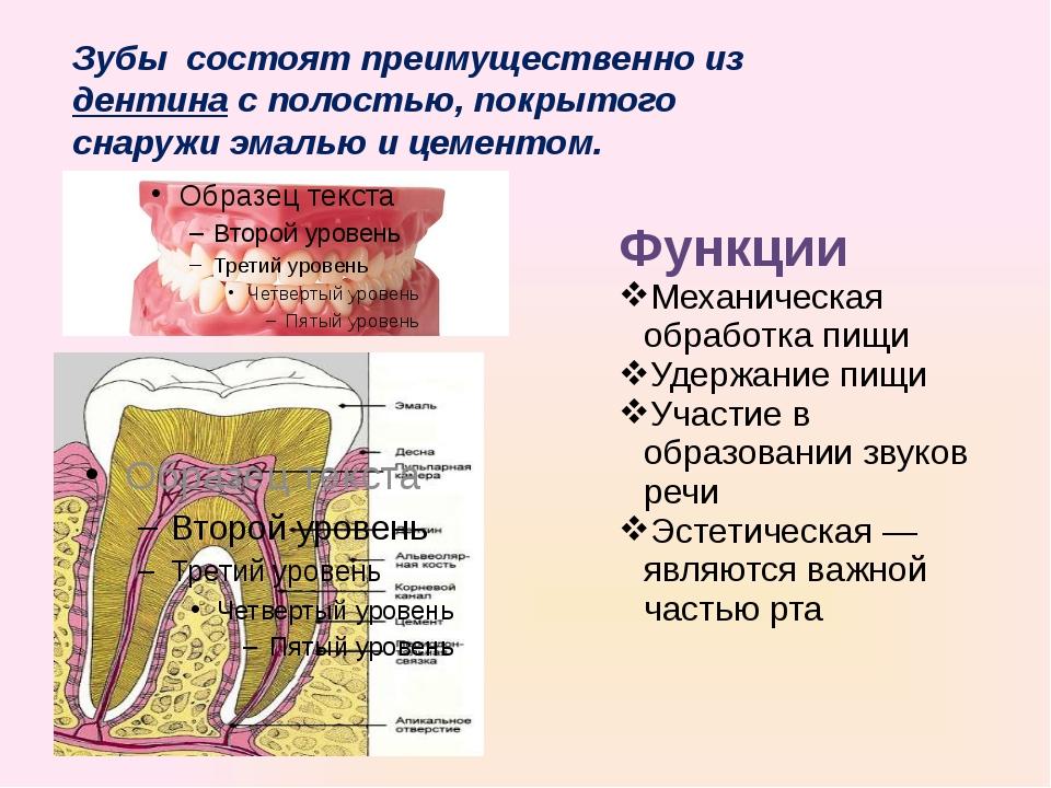 Зубы состоят преимущественно издентинас полостью, покрытого снаружи эмалью...