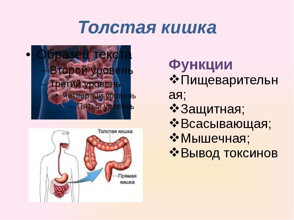 Толстая кишка Функции Пищеварительная; Защитная; Всасывающая; Мышечная; Вывод...