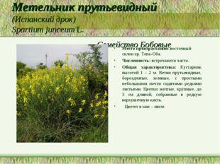 Метельник прутьевидный (Испанский дрок) Spartium junceum L. Семейство Бобовые