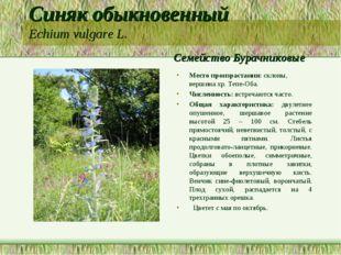Синяк обыкновенный Echium vulgare L. Семейство Бурачниковые Место произрастан