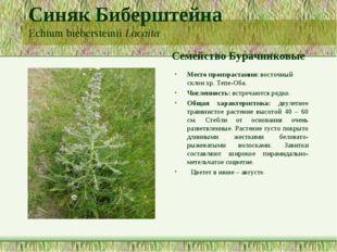 Синяк Биберштейна Echium biebersteinii Lacaita Семейство Бурачниковые Место п