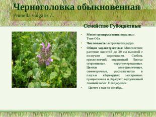 Черноголовка обыкновенная Prunella vulgaris L. Семейство Губоцветные Место пр